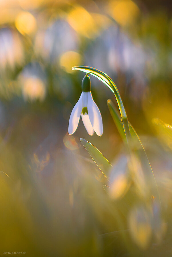 Frühlingserwachen - Schneeglöckchen - Galanthus