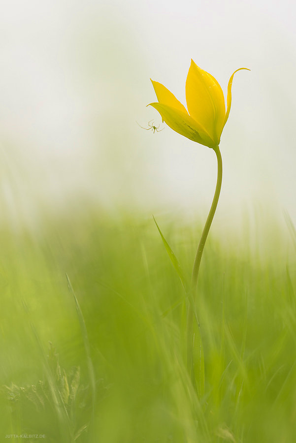 Wildtulpe - Tulipa sylvestris -  Saaleauen