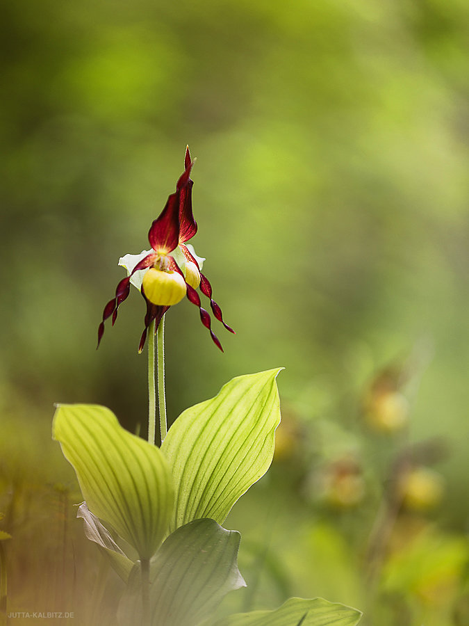 Frauenschuh - Cypripedium calceolus