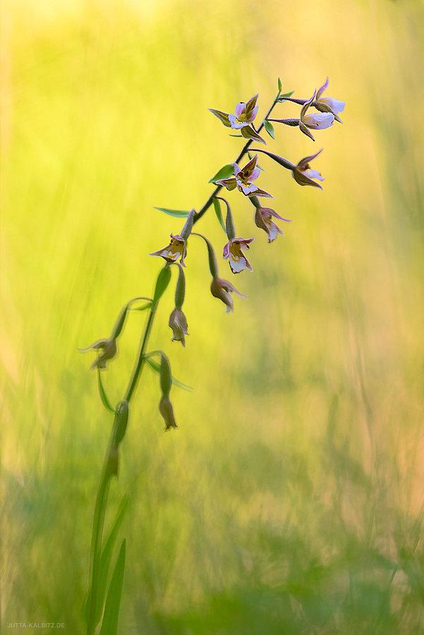 Sumpf-Stendelwurz - Himantoglossum hircinum