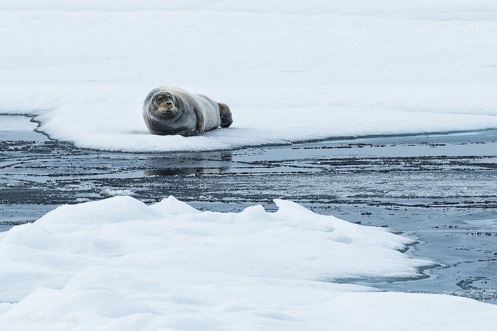 Svalbard-fauna-4.jpg