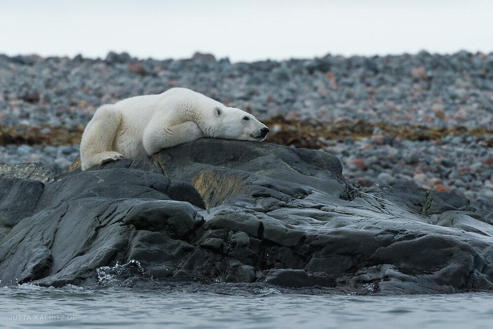 Svalbard-fauna-8e.jpg
