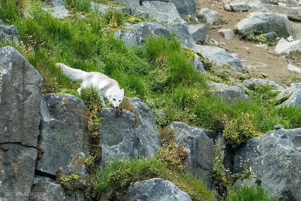 Polarfuchs mit Lummenjungvogel