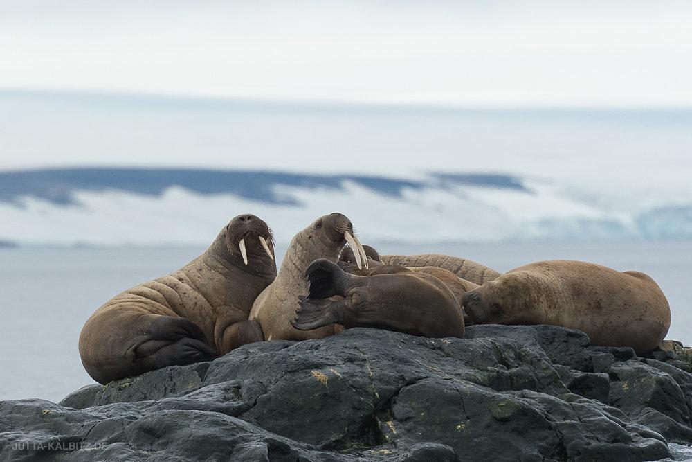 Walrosse vor Storøya