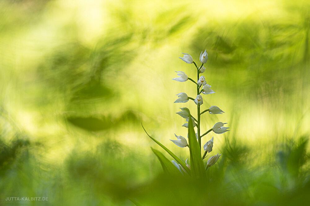 Schwertblättriges Waldvögelein - Cephalanthera longifolia