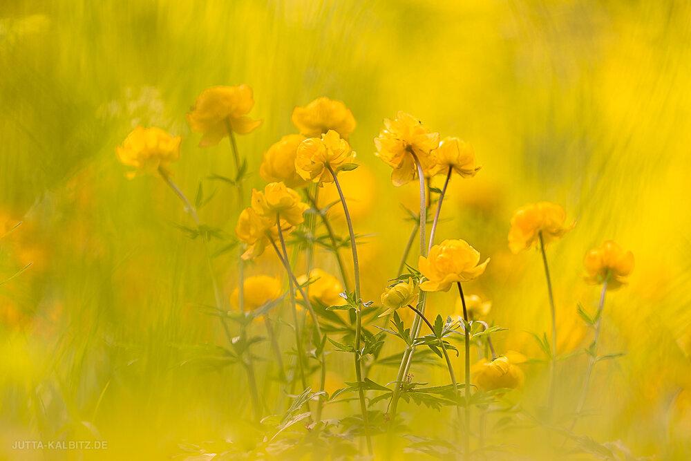 Auf der Trollblumenwiese